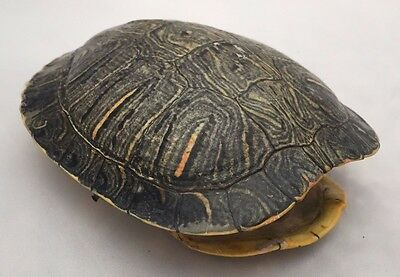 Real Turtle Shell Carapace Taxidermy Red Eared Slider 5-6 inch Long