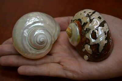 """2 Pcs White Pearl And Sarmaticus Shell Turbo Hermit Crab 2 1/2"""" - 3"""" #7061/70"""