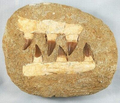 Fossil Double Mosasaur Jaw With Six Large Mosasaur Teeth - Cretaceous - Morocco