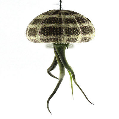 1 x Tillandsia Jellyfish Air Plant displayed in Sea Urchin. The perfect gift