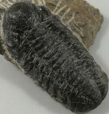 A Grade - Great Detail Fossil Reedops Trilobite 60mm - Devonian - Morocco