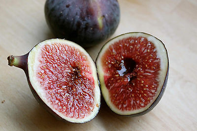 100+ Sweet Honey FIG tree seeds - Fragrant - King Figs- 100+ fresh seeds non-GMO