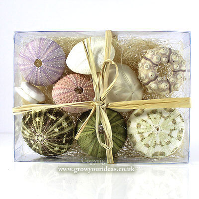 Collection of 10 sea urchin sea shells in presentation box. Crafts and home