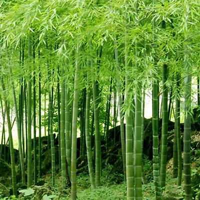 100+ Pcs Seeds Phyllostachys Pubescens Moso-Bamboo Seeds Garden Plants GT