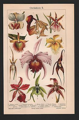 Chromo-Lithografien 1907: ORCHIDEEN-Orchidaceae I/II Aganisia, Coryanthes, Disa