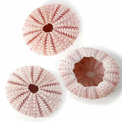3 x Sea urchins Pink 3.5 to 5 cm. Perfect for crafts and air plants or terrarium