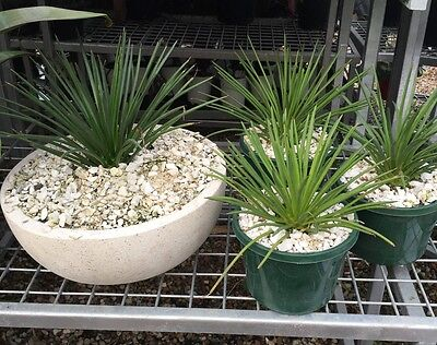 Agave Geminiflora  , Rare and slow growing