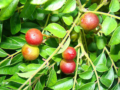 50 Seed, Curry Leaves seeds, Curry Leaves tree seedlings FREE SHIPPING