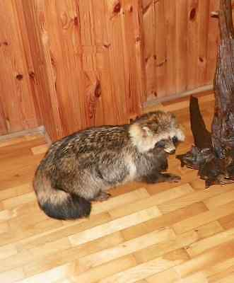 REAL WILD MANGUT RACCOON Nyctereutes procyonoides TAXIDERMY