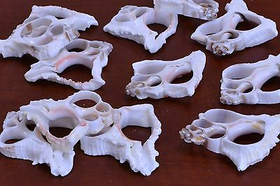 12 Pcs White Mulli Center Cut Sea Shell Beach Craft #7685