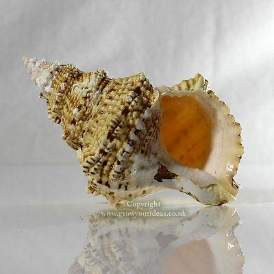 Large Frog Shell 10-13 cm Seashell for aquariums, crafts, or display Air Plants