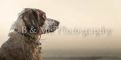 Irish Red and White Setter Canvas