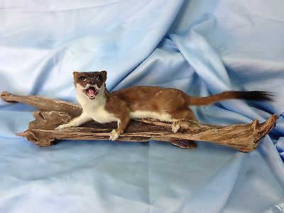 taxidermy Stoat - Natural History - Wildlife
