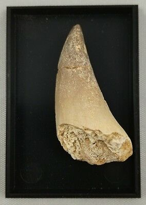 Large Fossil Mosasaur Tooth - Dinosaur Teeth In Box 40mm - Cretaceous - Morocco