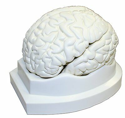 Human Brain Model Life Size Physiology Anatomy Science Learn Medical Educations