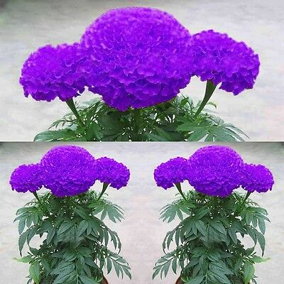 100Pcs Purple Blue Marigold Seeds Home Garden Flower Seed Potted Plant Seeds