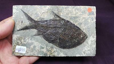 peces fósiles,Jianghanichthys  hubeiensis,primitive fossil fish,