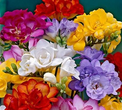 Mixed Double Freesia Bulbs - Double Flowering (size 5/6) - Delivery Included