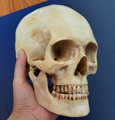 Skull Unique Light Gray Hand made Human Resin Skull Medical Replica Cranium