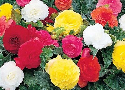 DOUBLE BEGONIA - GARDENING BULBS CORM - Spring And Summer Perennial Flowers UK