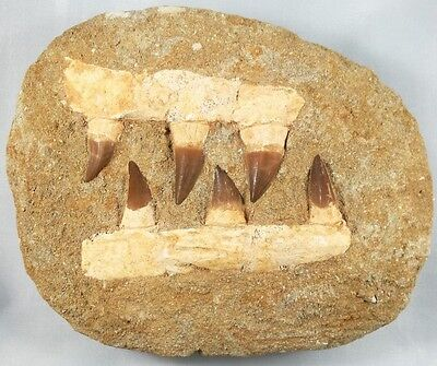 Fossil Double Mosasaur Jaw With Six Large Mosasaur Teeth - Cretaceous - Morocco.