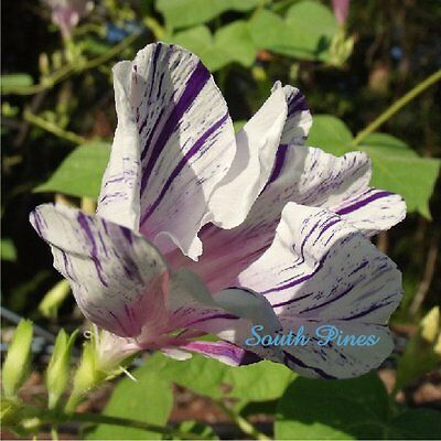 HIGE - Blue Tiger - Pom pom - Feathered Morning Glory - ipomoea purpurea