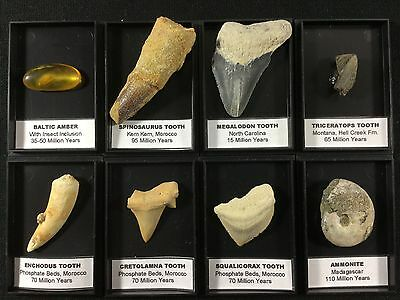 Fossil Collection - Spinosaurus, Triceratops Dinosaur Tooth, Amber with Insect..