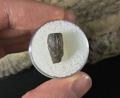 Triceratops Tooth #03 - Hell Creek Fossil Dinosaur Tooth