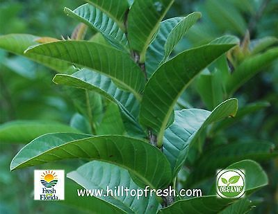 """75 -Guava leaves -Grade """"A"""" - Organic -Picked fresh Ships fast from Florida"""