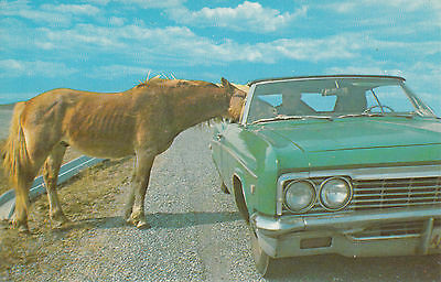 Wild Pony Eating From Car Assateague Island MD Maryland Vintage Postcard