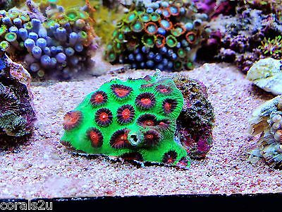 Red and Green Moon Coral Frag  Reef tank LPS Marine Aquarium