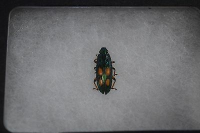 Pretty Beetle Specimen Insect Mounted