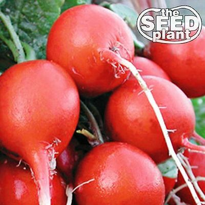Cherry Belle Radish Seeds - 100 SEEDS-SAME DAY SHIPPING