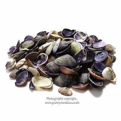 100 Purple Cay Cay mini clamshells for crafts and hobbies or terrariums or pots