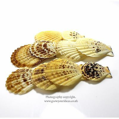 10 x Candy fan mini scallop seashells for crafts and hobbies or terrariums