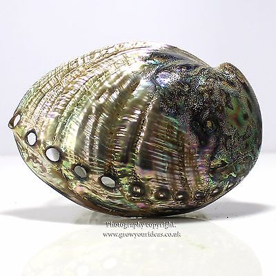 Blue Abalone Polished both sides Large 12.5-15cm seashell. amazing colours