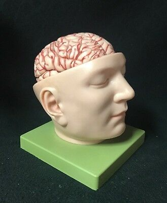 Somso Base of the Head Brain Model Anatomical Model BS5