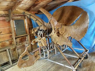 DINOSAUR FOSSIL - MOUNTED - Triceratops Skull - Hell Creek Formation CRETACEOUS