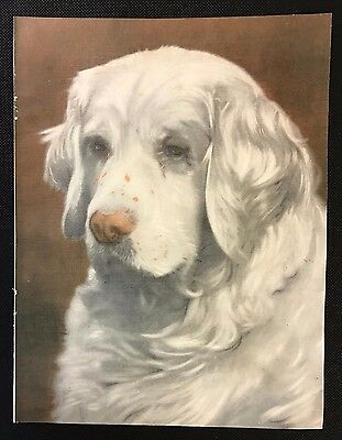 Original 1934 Colour Dog Print / Bookplate - CLUMBER SPANIEL, Sandringham Spark