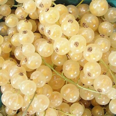 1X 2-3Ft Large White Currant Fruit Plant ''white Versailles'' Multi Branched