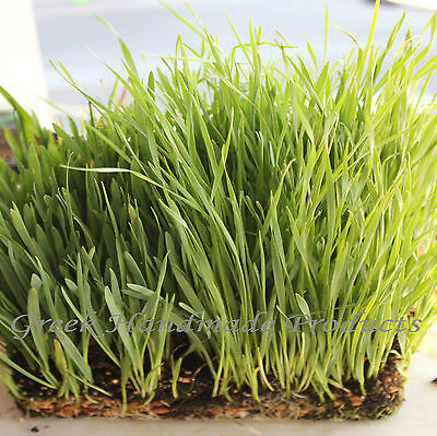 Oat Grass 450 Seeds Sussex Grown For Cat Grass Reptiles, Birds & Other Pets
