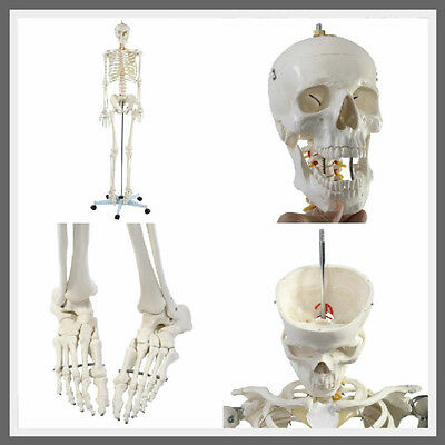 Life Size Human Skeleton Anatomical Anatomy Medical Model + Stand