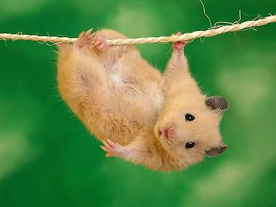 New hamster Play on the rope flay like bat Just image