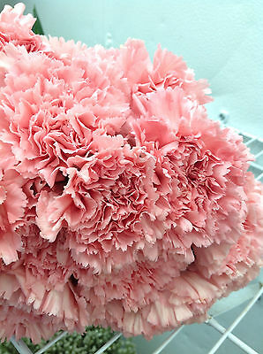 50 Stem Fresh PINK Carnation Flowers Bulk wedding event centerpeice funeral
