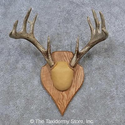 #15649 E | Whitetail Deer Antler Plaque Taxidermy Mount For Sale