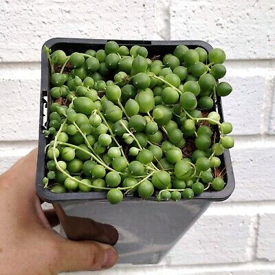 Senecio Rowleyanus String of Pearls Succulent in 14 cm wide pot