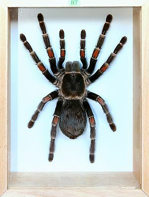 Unique Real Tarantula (Mexican Flame Knee) Taxidermy - Mounted, Frame
