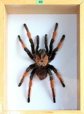 Unique Real Tarantula (Mexican Red-Legged) Taxidermy - Mounted, Framed