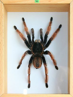 Unique Real Tarantula (Mexican Pink Leg) Taxidermy - Mounted, Frame