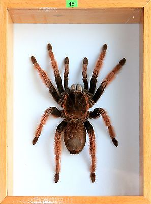Unique Real Tarantula (Mexican Pink Leg) Taxidermy - Mounted, Framed